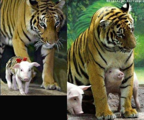 tigre3.jpg